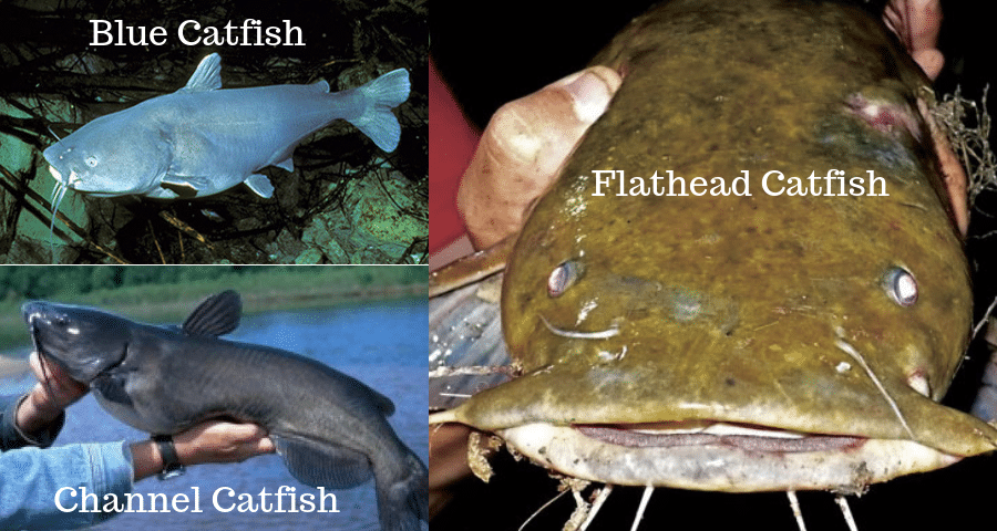 All 3 types of Catfish