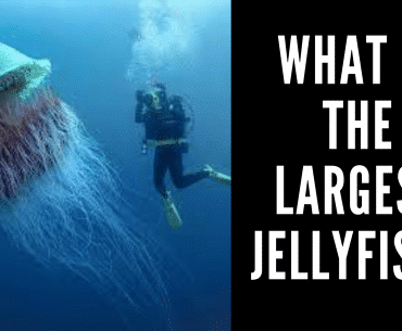 What is the Largest Jellyfish?